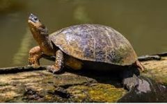 The Turtles that Shell-Shock the North; An Inside Look at the River Cooter